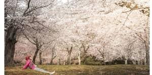 ดอกซากุระบานสวยงามมากๆ เหมือนอยู่ในความฝันเลยค่ะ